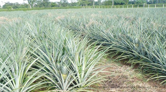 Acacias,Piña