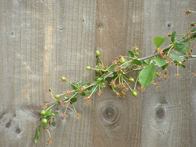Photo of immature cherries on a branch next to a wooden fence