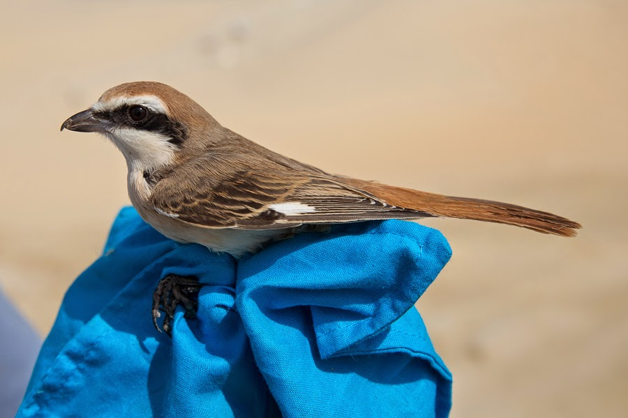 Turkestan Shrike
