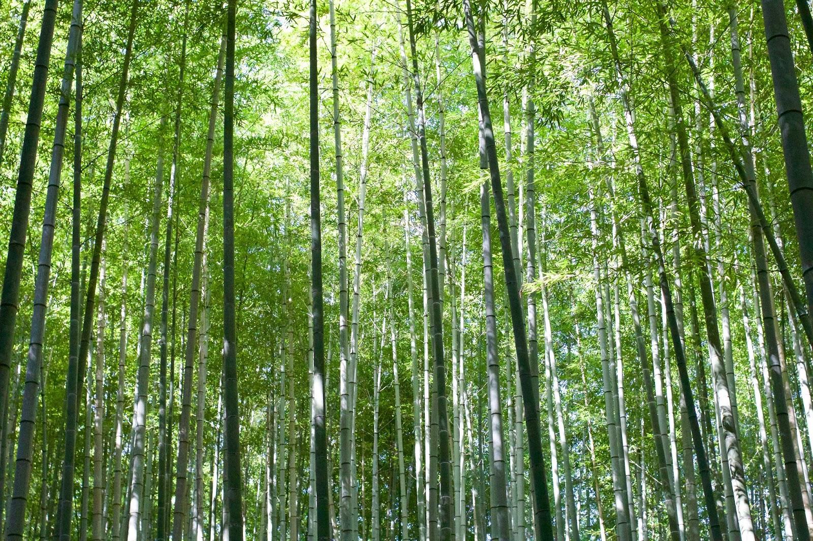 Arashiyama-bamboo-grove-Kyoto-Japan