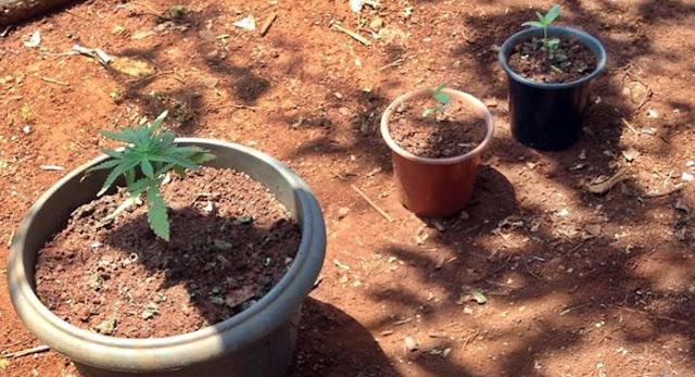 Nova Cantu: PM apreende maconha plantada em quintal de residência