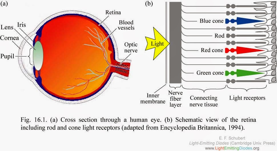 dog body diagram pregnant dog eye diagram cones creation - the written truth: human eye, cones, cornea ...