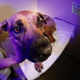 veterinaria online acupuntura en perros y dolor