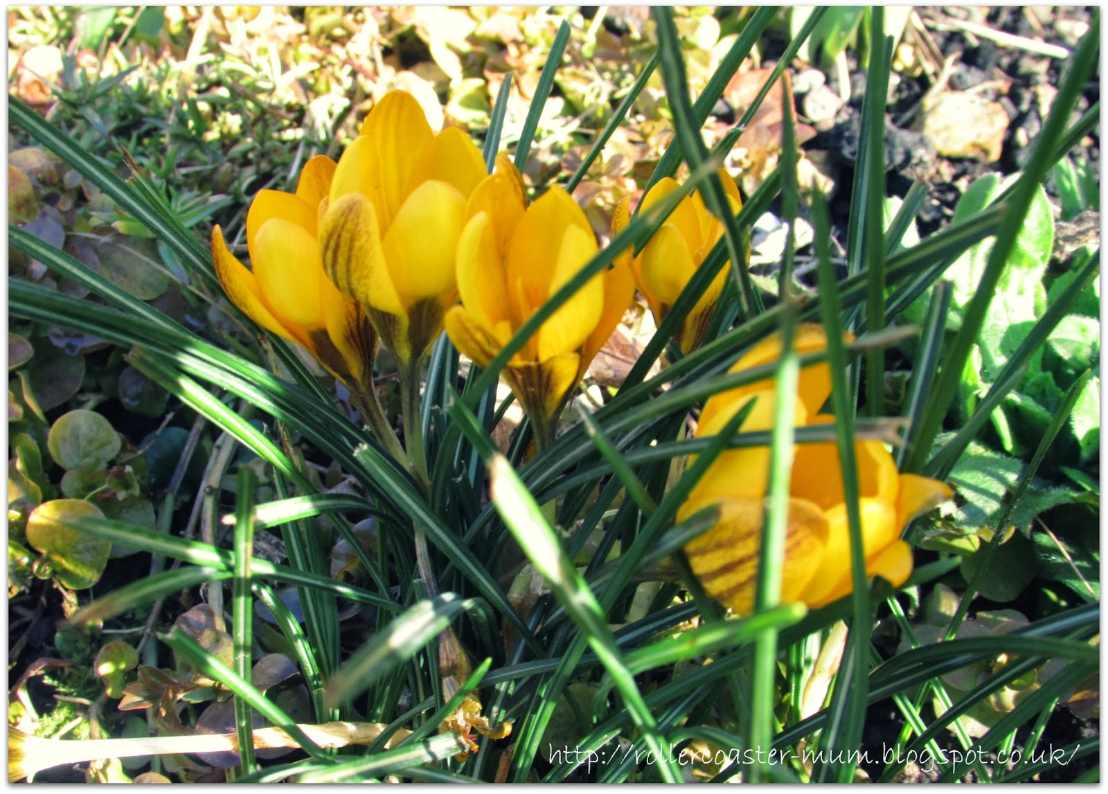 sunshine yellow crocus #springflowers