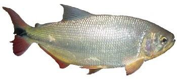 Peixe Piraputanga (Brycon microlepis)
