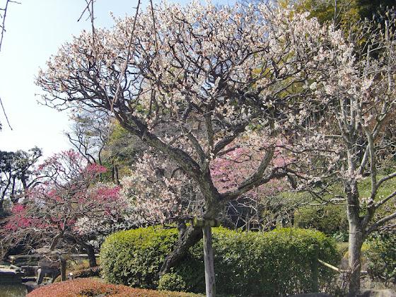 長谷寺の梅
