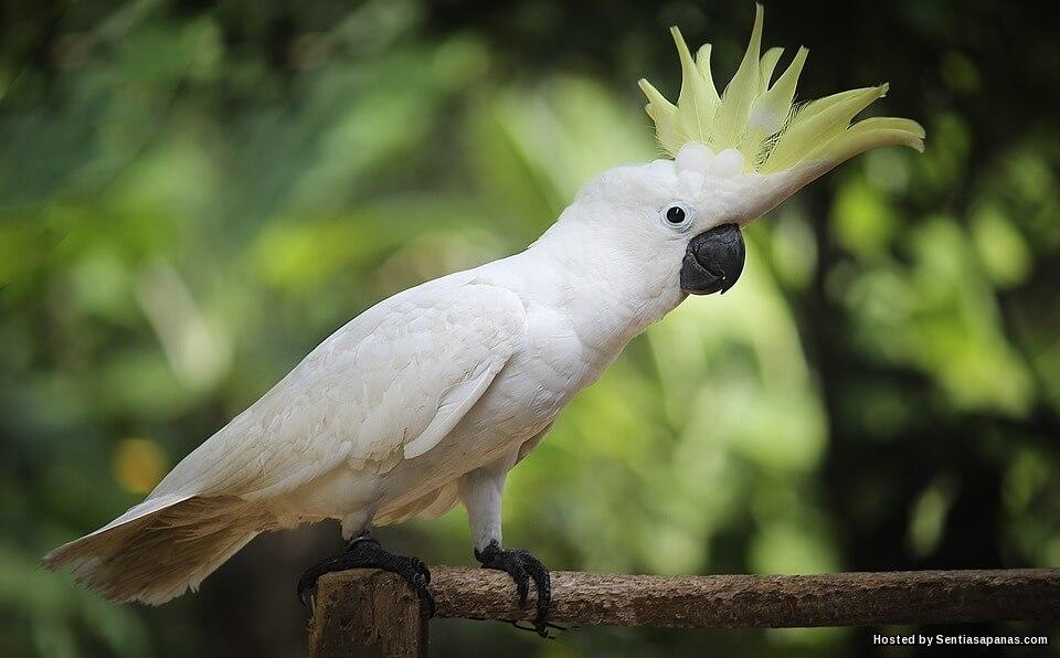 Kisah Burung Kakak Tua Lucah Melampau
