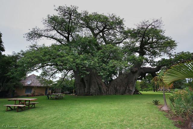 Στο εσωτερικό ενός ζωντανού δέντρου 6.000 ετών