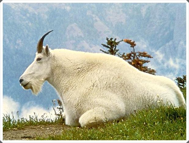 foto 5 gambar kambing mountain goat