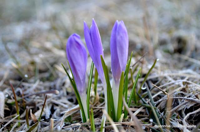 Wiosna w górach- w poszukiwaniu krokusów