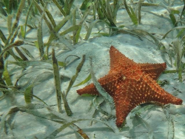 Estrella de Mar en Guna Yala