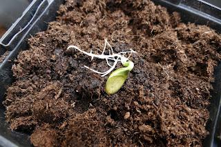Eetbare pompoenpitten kweken zaden voorkiemen en oogsten van de oliepompoen Gleisdorfer Ölkürbis