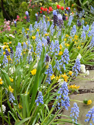 Grape Hyacinths Pseudomuscari azureum at the Allan Gardens Conservatory 2018 Spring Flower Show by garden muses-not another Toronto gardening blog