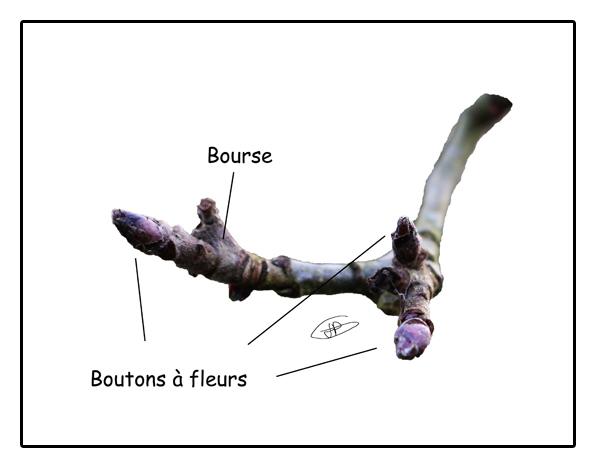 vergers bio taille fruitiers biologique abricot bio pommes poires cerise prune pêche framboise raisin