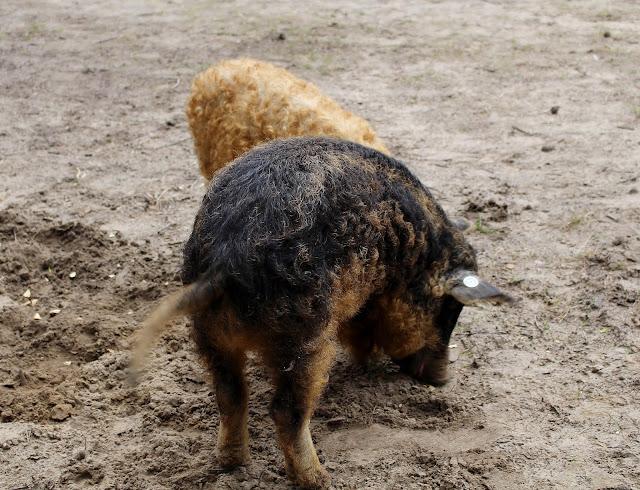 Wildpark-Schorfheide-Wollschweine