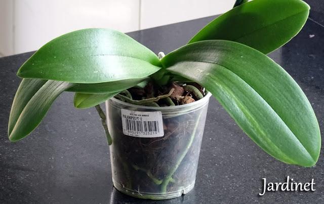 Folhagem da orquídea phalaenopsis