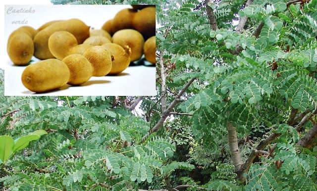 Tamarindeiro Árvore do Tamarindo