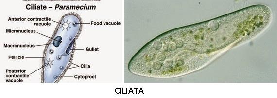 4 Jenis Protista Mirip Hewan: Rhizopoda, Flageta, Ciliata, Sporozoa
