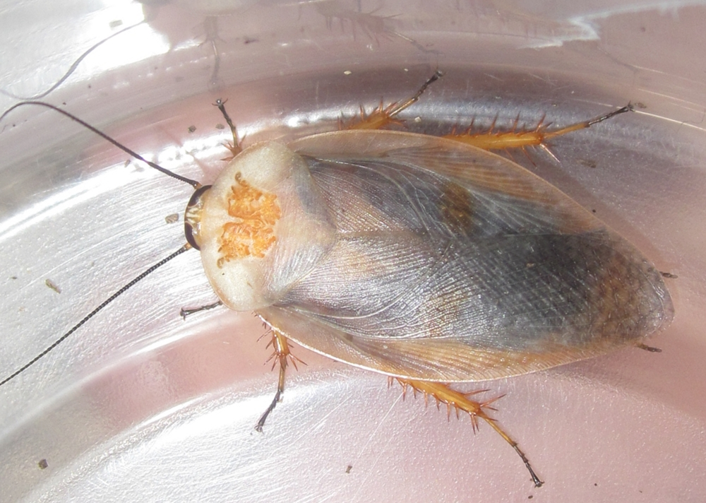 Hisserdude's Roaches - Page 2 G.caffrorum%25237