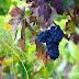 ぶどうの収穫が間近なワイン産地リオハにニコが来た!《Vineyard's Landscape in La Rioja》