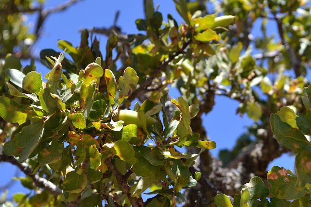 long, green acorn on an oak among the leaves