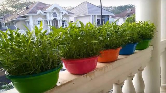tanam kangkung, makan kangkung, khasiat kangkung, cara tanam kangkung, cara mudah tanam kangkung, tanam kangkung dalam besen