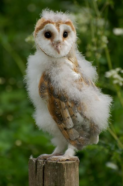 British Wildlife Centre ~ Keeper's Blog: Baby Barn Owls