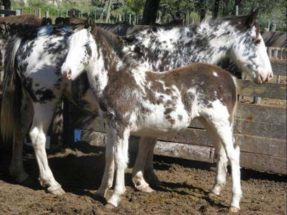 Bien Campero El caballo criollo