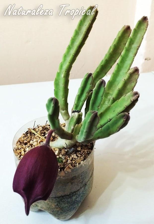 Planta Stapelia leendertziae con botón floral