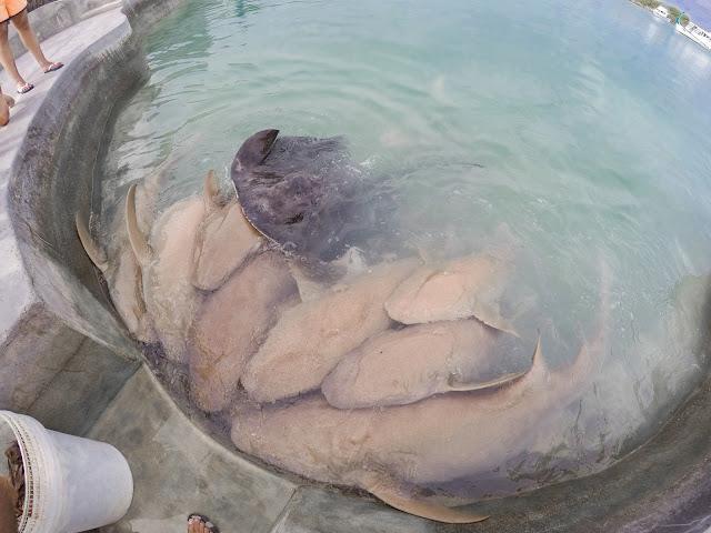 squali del reef maldive