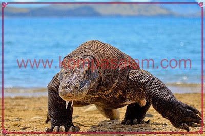 Komodo Dragon walking at the beach.