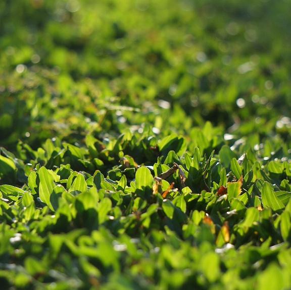 Rumput Rumput