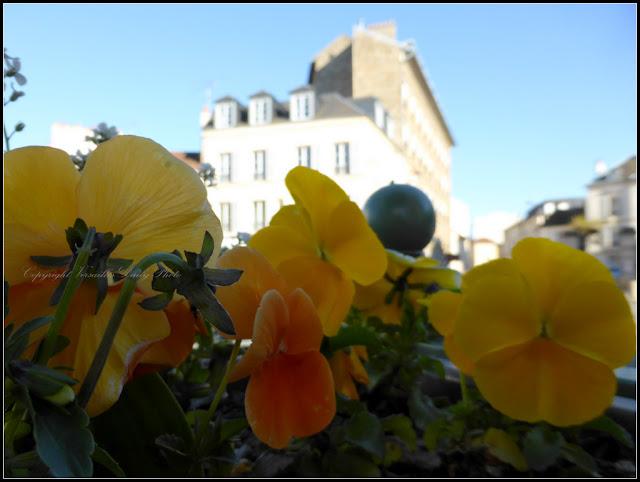 Pansies pensées Versailles