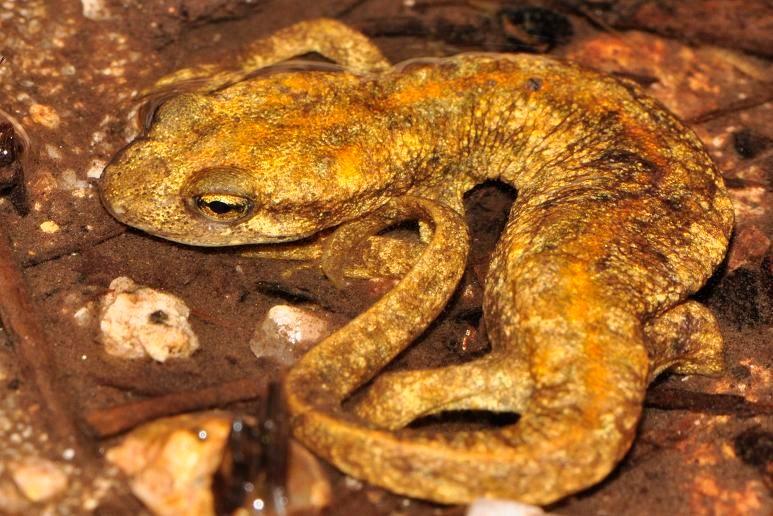 Amphibians: Corsican Brook Newt - Euproctus montanus