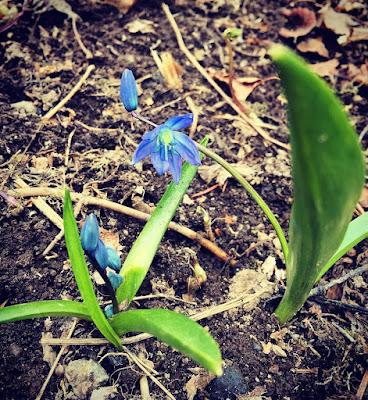 idänsinililja pieni kasvi siniset kukat myrkyllinen