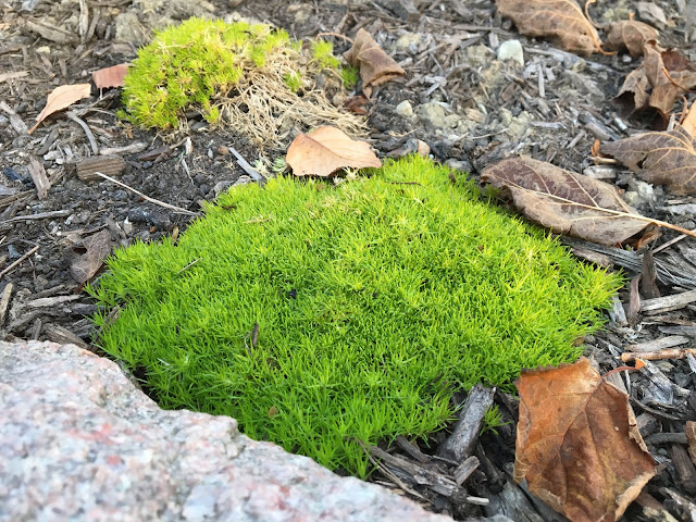 scotch moss in fall