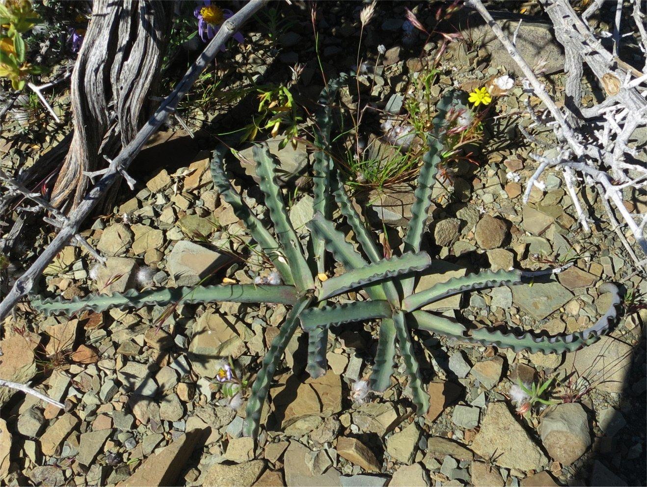 Ledebouria undulata - Bowadrif Tanqua Karoo