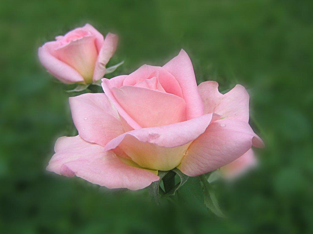 cute pink roses wallpapers. Black Bedroom Furniture Sets. Home Design Ideas