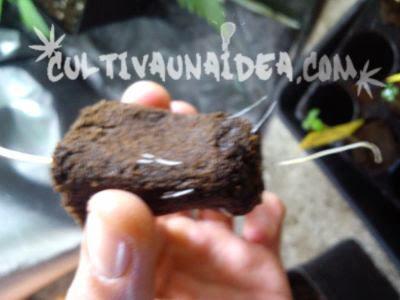Raíces de cannabis