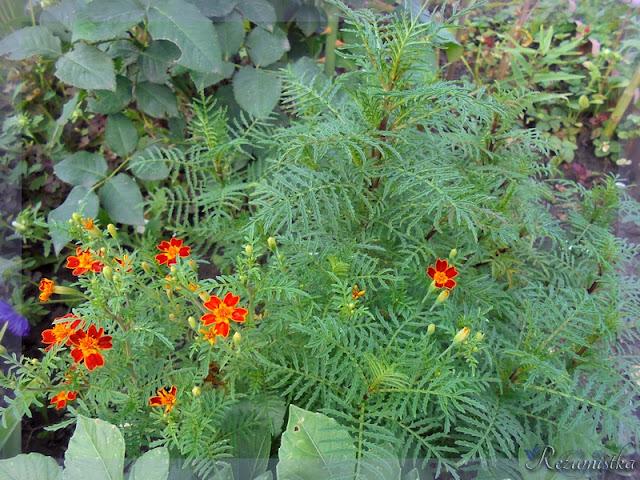 бархатцы с мелкими цветочками
