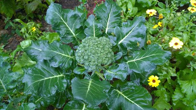 Brokkoli für köstliche vegetarische Gerichte (c) by Joachim Wenk