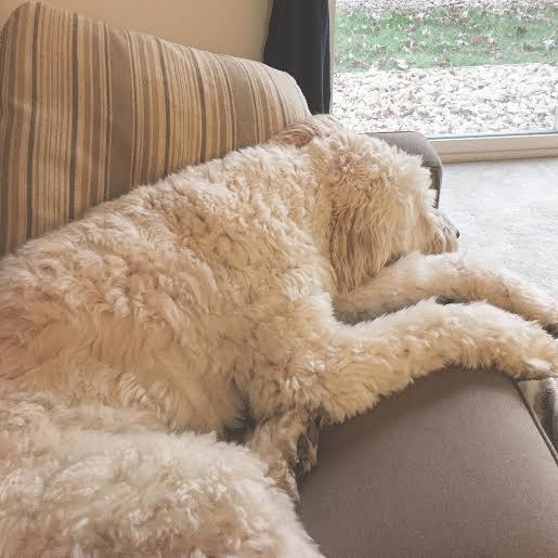 sleepy goldendoodle