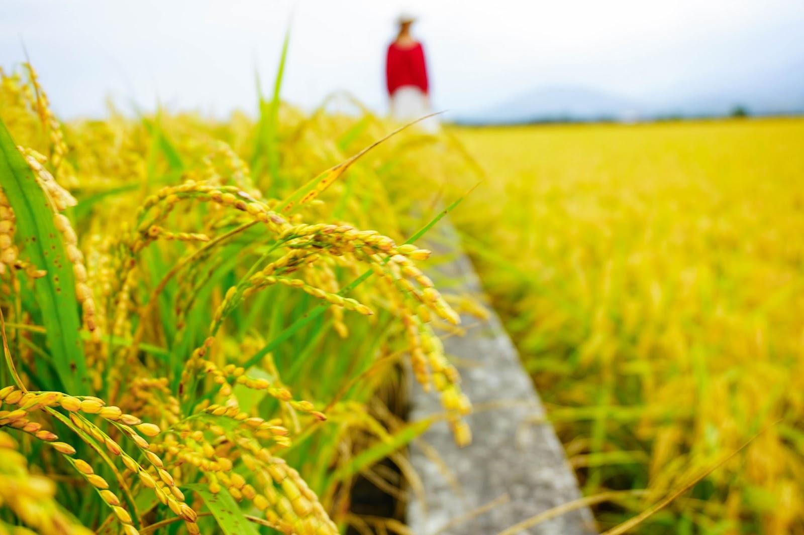 beautyanxiety.com-beautyanxiety.com-chishang%2Bgold%2Brice%2Bfield-DSC09678.jpg