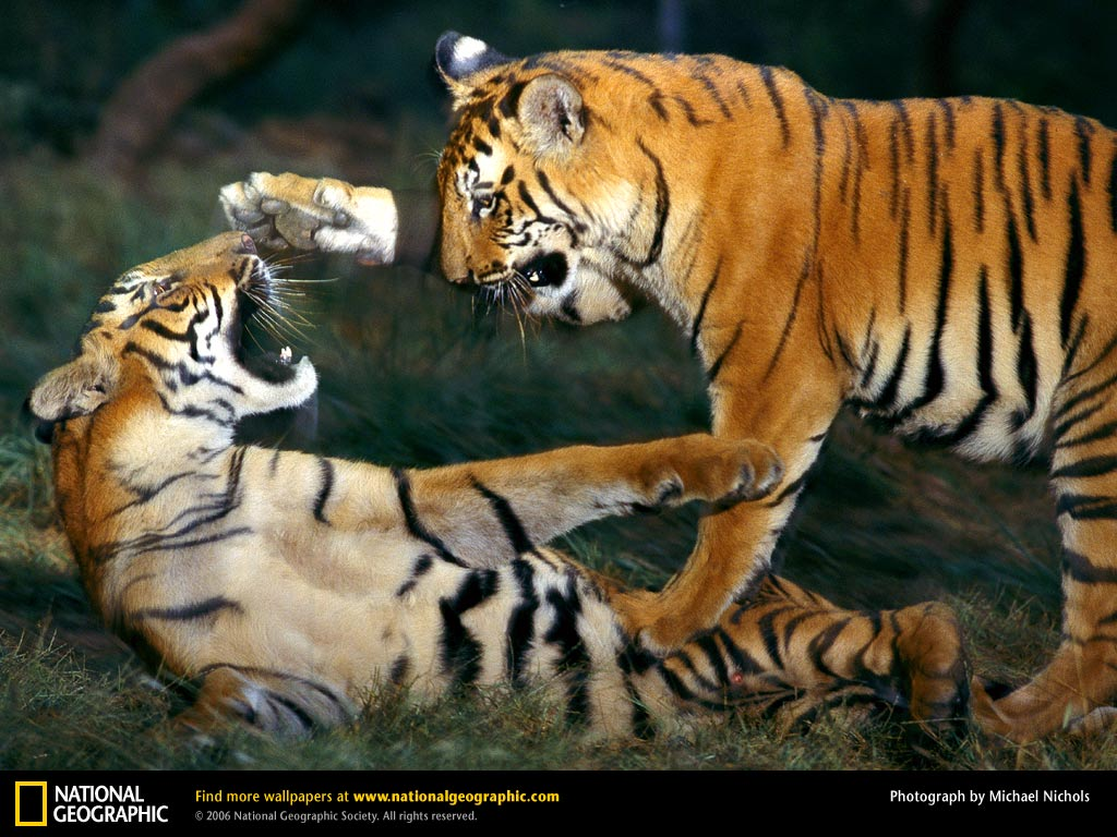 Royal Bengal Tiger - Bengal Tiger Facts, Profile, Photos ...