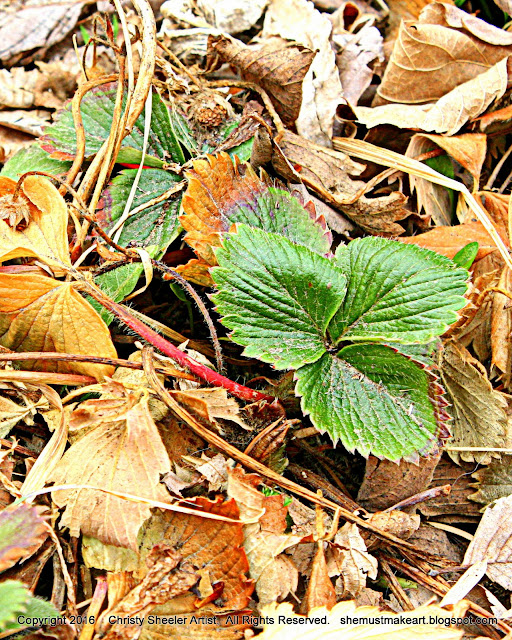 strawberry leaves green breaking through dead leaves first signs of spring march 2016 photography