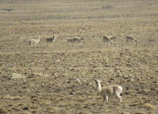 Procapra picticaudata, Goa, Tibetan Gazelle