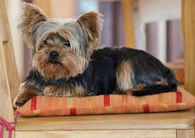 Perro Yorkshier Terrier