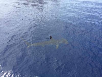 Vor Gran Canaria wurden zwei Haie gesichtet