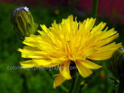 Narrowleaf Hawksbeard-sideview