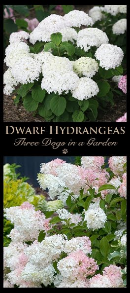 The New Dwarf Hydrangeas